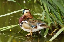 Free Mandarin Duck Royalty Free Stock Photo - 861165
