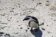 Free Lone Penguin Stock Photography - 861462