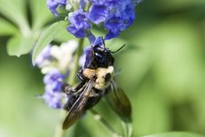Free Bee On Butterfly Bush 9453 Royalty Free Stock Photo - 861515
