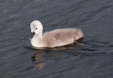 Single Baby Swan Side View Stock Photo