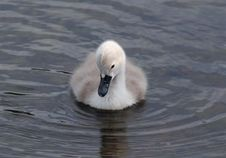 Single Baby Swan - Signet Royalty Free Stock Images