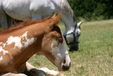 Free Paint Foal Royalty Free Stock Photos - 861798