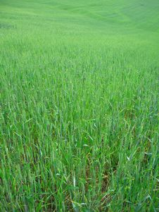 Free Wheat Field Royalty Free Stock Photo - 862235
