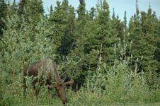 Free Moose Royalty Free Stock Photo - 862305