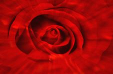 Free Radiant Rose Stock Image - 863091