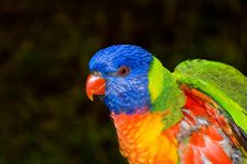 Free Lorikeet Closeup Royalty Free Stock Photo - 863825