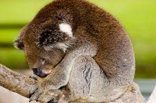 Free Sleeping Koala Stock Photography - 863872