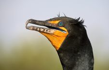 Free Double Crested Cormorant Royalty Free Stock Photography - 864047