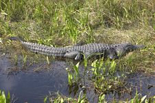 Free American Alligator Stock Image - 864091