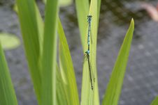 Dragonflies Mating Stock Photo