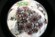 Sempervivum Tectorum Royalty Free Stock Photo