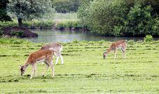 Free Fallow Deer Royalty Free Stock Photos - 864728
