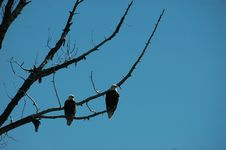 Free Mating Pair Of Bald Eagles Stock Image - 864751