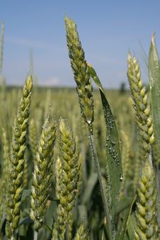 Free Wheat Close-up Royalty Free Stock Photography - 865337