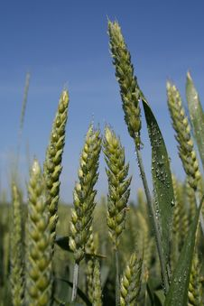 Free Wheat Close-up Stock Photography - 865342