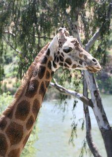 Free Giraffe Stock Image - 865371