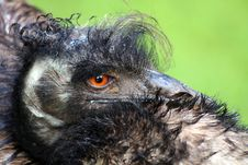 Emu Head Royalty Free Stock Photos