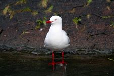 Free Seagull Standing In Water Stock Photography - 866502