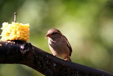 Free Sparrow Eating Corn Stock Image - 866511
