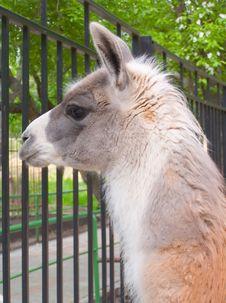 Free Lama Royalty Free Stock Photography - 866537