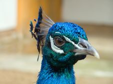 Free Peacock Stock Image - 866571