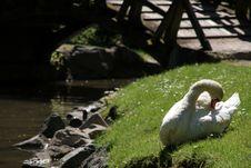 Free Swan Stock Photography - 866862