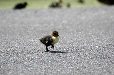 Free Baby Duck Crossing Road Royalty Free Stock Images - 866979