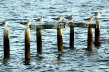 Seagulls On Pilings Royalty Free Stock Image
