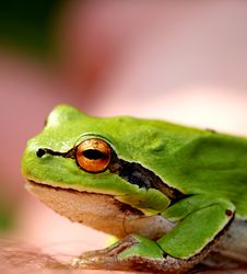 Free Green Little Frog Royalty Free Stock Images - 867699
