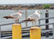 Free Lake Gulls Perched Royalty Free Stock Images - 868829