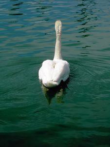 Free Swan Swimming Away Royalty Free Stock Image - 869146