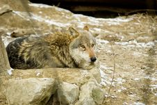 Free Wolf Stock Photography - 869552
