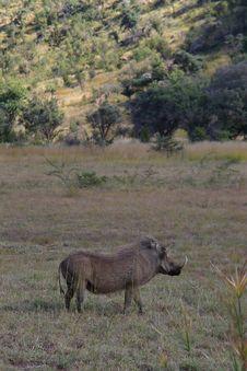 Free Warthog Watching Stock Images - 869594