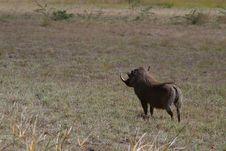 Free African Warthog Stock Photo - 869610