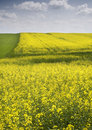 Free Oilseed Rape Stock Photography - 8603192