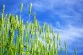 Free Wheats Field Royalty Free Stock Photos - 8603458