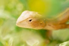 Free Chameleon Stock Image - 8600051