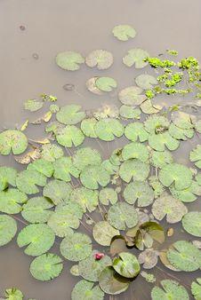 Free Lotus Pond Royalty Free Stock Images - 8600749