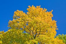 Free Golden Maple On Blue Royalty Free Stock Photos - 8601568