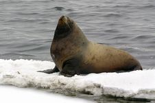 Free Northern Sea-lion (Eumetopias Jubatus) Stock Photos - 8601673