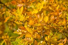 Free Golden Autumn Oak Foliage Stock Photos - 8601693