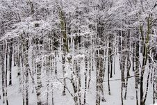 Free White Winter Forest Scene Royalty Free Stock Photography - 8602097