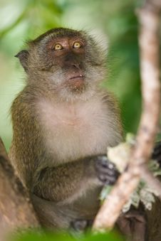 Free Monkey Royalty Free Stock Photo - 8602455
