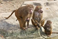 Free Baboon Family Stock Images - 8602584