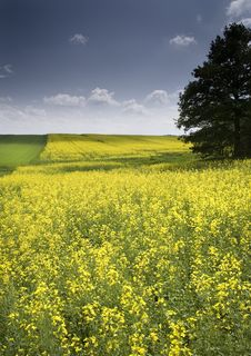 Free Oilseed Rape Royalty Free Stock Photography - 8603227