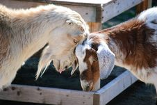 Free Goats Fighting Stock Images - 8605384