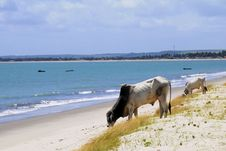Free Cows At The Sea Stock Image - 8605851