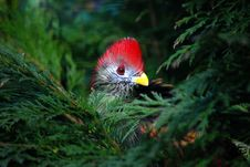 Free Red Crested Turaco Stock Photos - 8606693