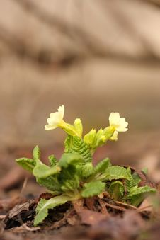 Free Spring Yellow Primula Royalty Free Stock Photo - 8606795
