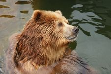 Free Brown Bear Stock Photography - 8608122